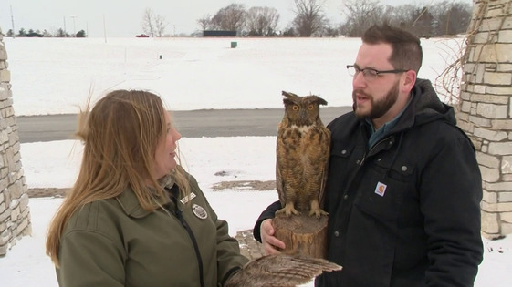 Great Horned Owls Thumbnail