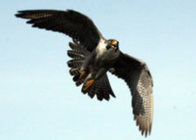 BANDING PEREGRINES Photo